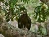 -black-eagle