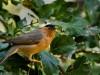 -brahminy-starling