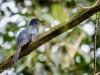 drongo-cuckoo