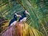 -malabar-pied-hornbill