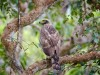 -crested-serpent-eagle