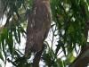 -dusky-eagle-owl