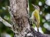-yellow-naped-woodpecker